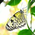 写真: 沖縄の蝶2