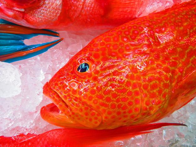 Photos: 沖縄の赤い魚