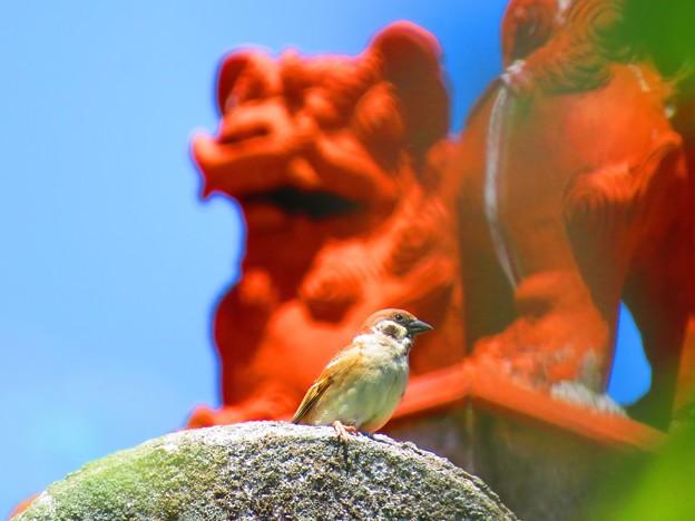 写真: 沖縄のすずめ