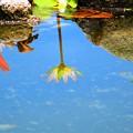 写真: 熱帯睡蓮 空と一緒に輝きたい