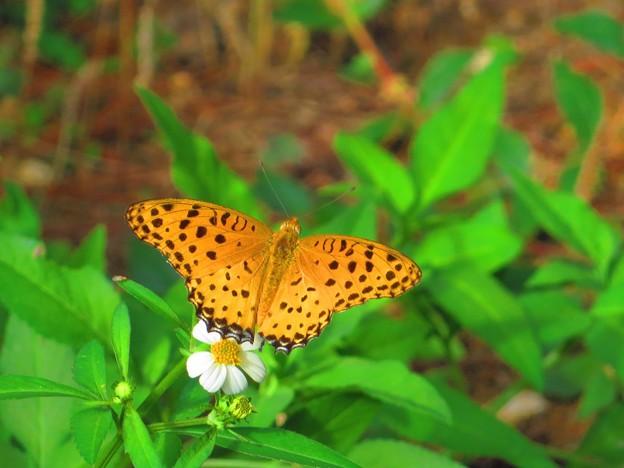 南の島のタテハチョウ1