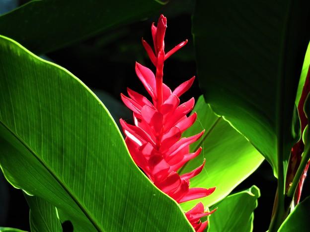 写真: 南海の島の赤い花1