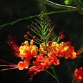 Photos: 南海の島の赤い花2