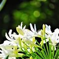 写真: 南海の島の白い花1