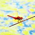 写真: 南海の島の蜻蛉1