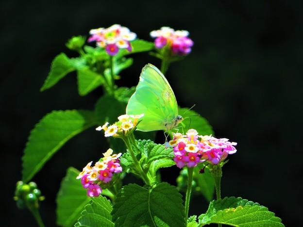 南海の島の蝶々 1