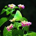 写真: 南海の島の蝶々 1