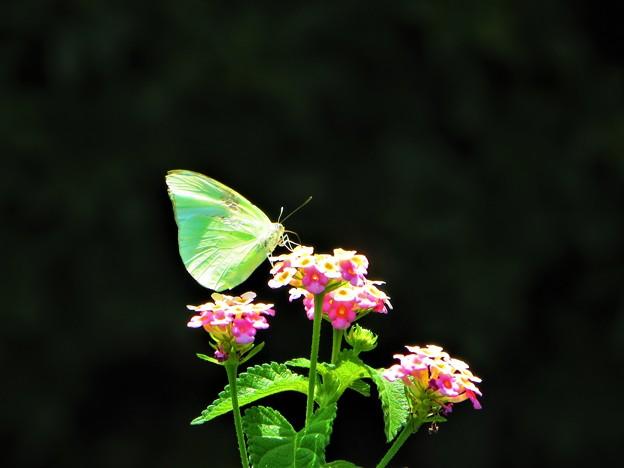 南海の島の蝶々 2