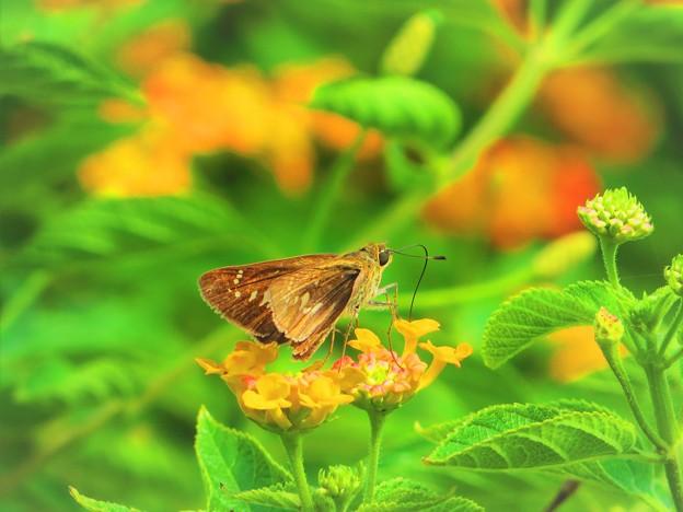 南海の島の蝶々 4