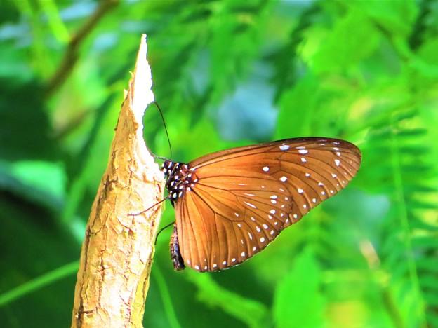 南海の島の蝶々 7