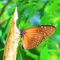 Photos: 南海の島の蝶々 7