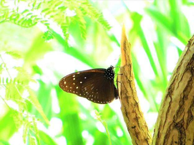 南海の島の蝶々11
