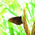 写真: 南海の島の蝶々11