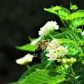 写真: 南海の島の蝶々12