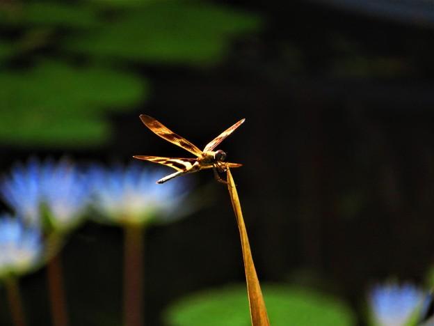 南海の島の蜻蛉11