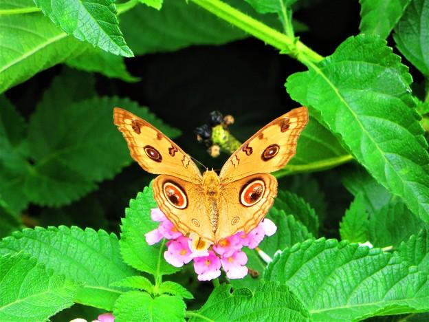 Photos: 南海の島の蝶々は美しい(^O^)/