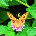 写真: 南海の島の蝶々は美しい(^O^)/