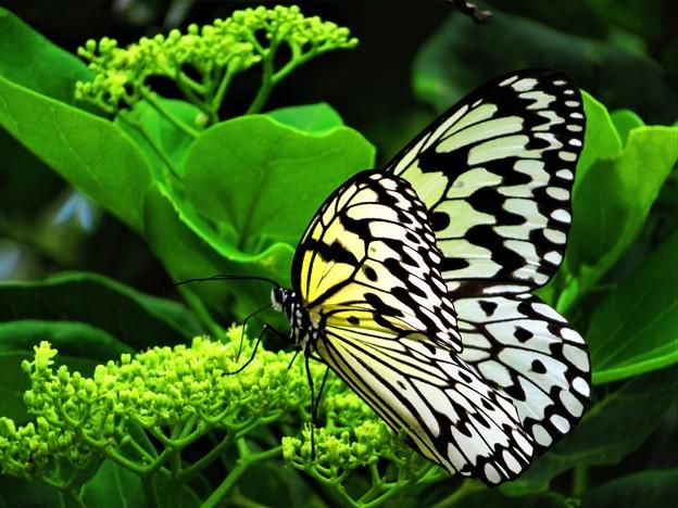 今日出会った蝶2