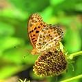 写真: 今日出会った蝶1