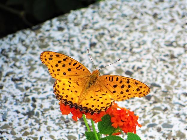 写真: 今日出会った蝶2