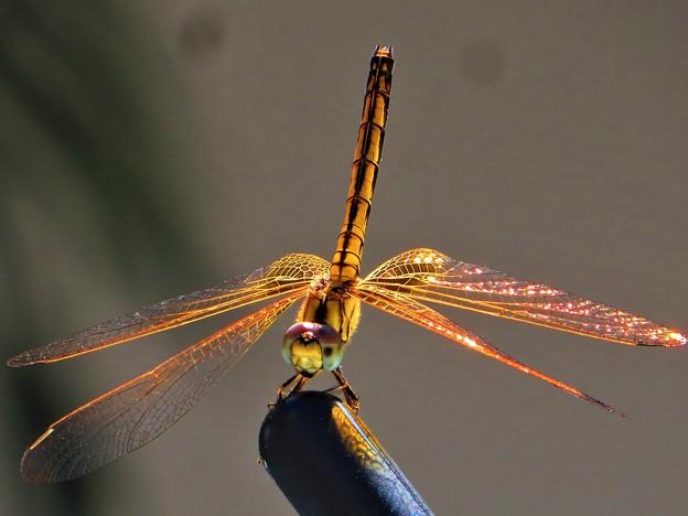 今日見た風景 蜻蛉