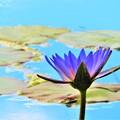 写真: 今日見た風景 睡蓮