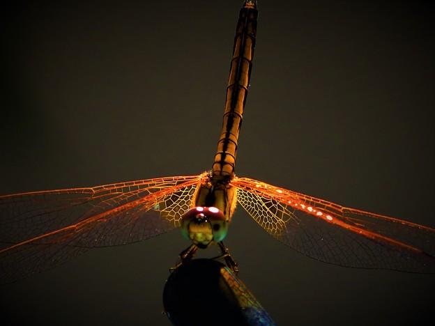 輝き 蜻蛉