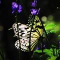 冬に出会った蝶 1