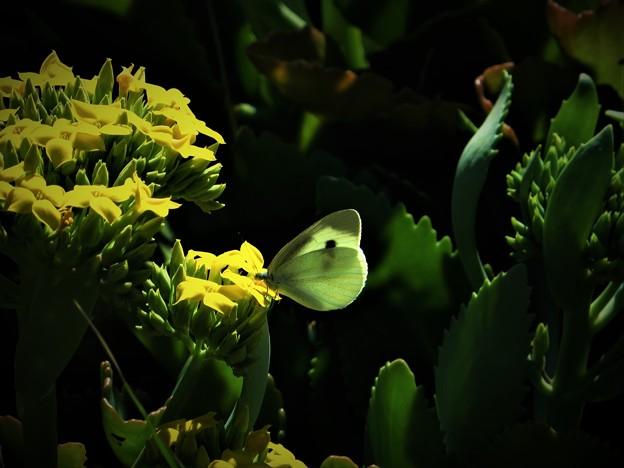 写真: 冬に出会った蝶4