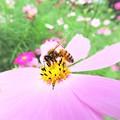 写真: 小さな世界のミツバチ