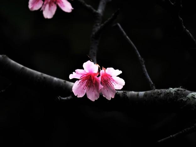 Photos: okinawa no Sakura