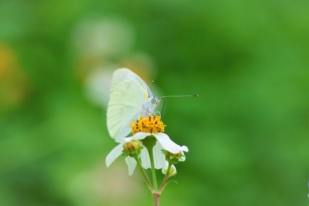 Photos: 沖縄は緑と蝶々がいっぱい