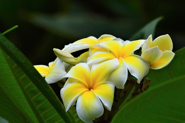 南の島の花