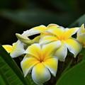 Photos: 南の島の花