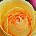 Photos: 寒い日に見た花 薔薇