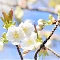 春 満開 サクラ