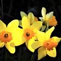 春 満開 スイセン