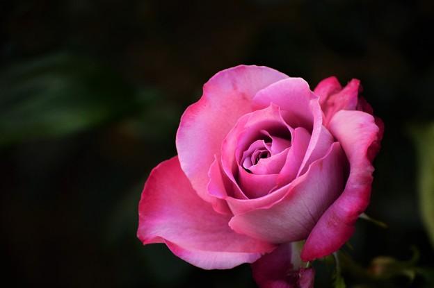 今日出会った薔薇