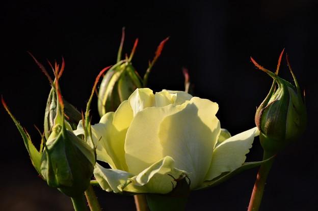 今日出会った薔薇3