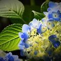 Photos: 6月の花 紫陽花