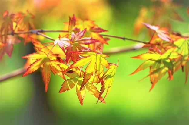逆光…紅葉
