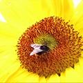 Photos: 黄色いひまわりとくまんばち