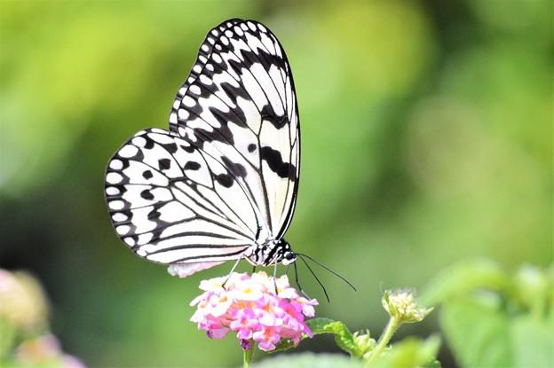 アウトフォーカス 蝶