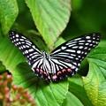 最近出会った蝶々