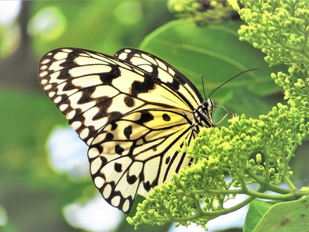 日本で一番大きな蝶