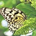 Photos: 日本で一番大きな蝶