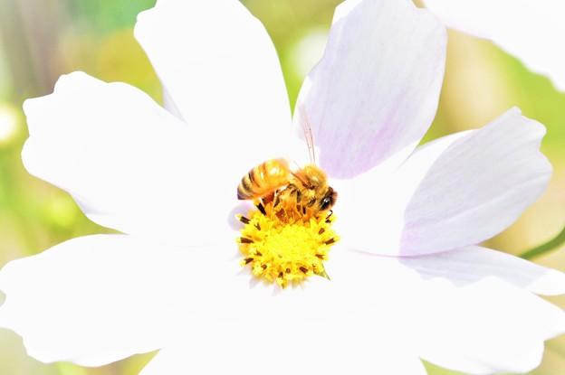 コスモスとミツバチ