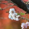 Photos: 桜と紅葉2