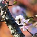 Photos: 桜と紅葉とミツバチ