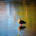 那須高原で見た冬景色 凍った池でたたずむ鴨